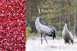 Экологический праздник «Жураўлі і журавіны Міёрскага краю»