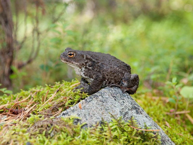 Фауна Беларуси - Земноводные и пресмыкающиеся Беларуси