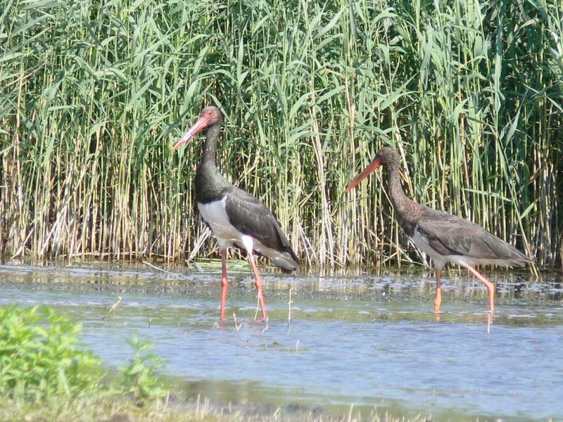 Фауна Беларуси - Птицы Беларусии