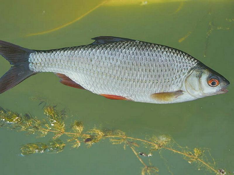 Фауна Беларуси - рыбы Беларуси