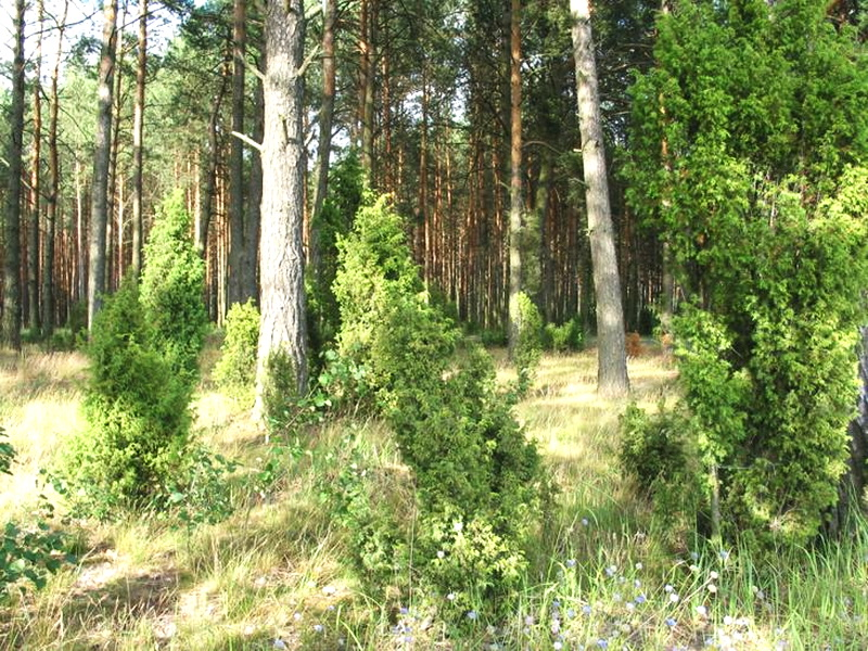 Кустарники Беларуси - Флора Беларуси